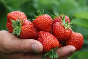 Image of someone holding strawberries in a farm field